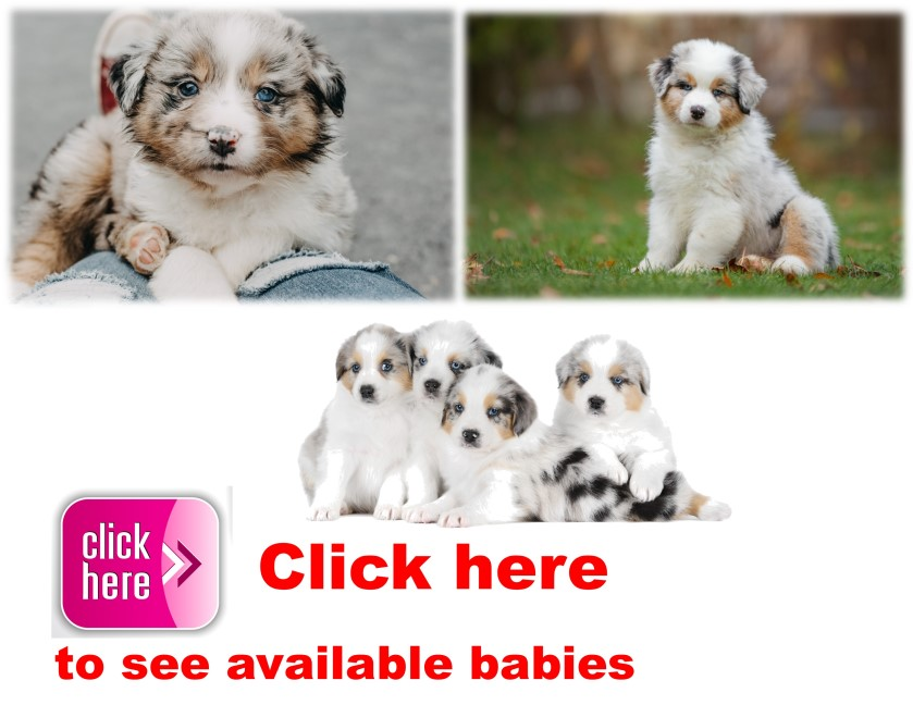 Aussie Doodle, puppy, puppies, kennels, breeder, breeders, puppies for sale, for, sale, adoption, sh