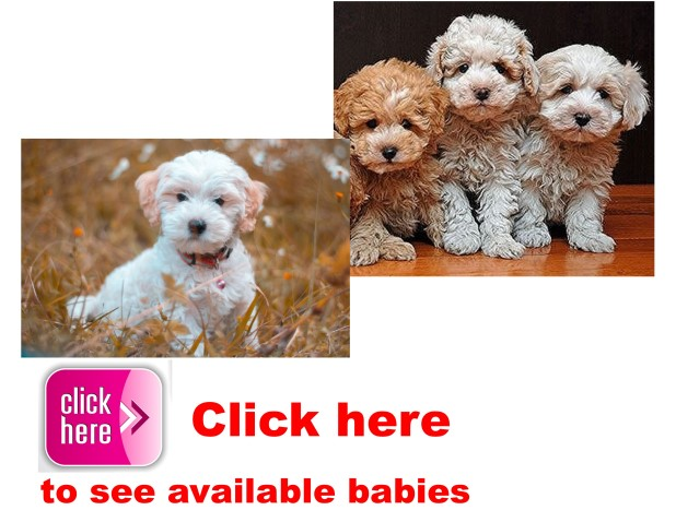 Cotonpoo Breeder, puppy, breeders, kennels, puppies, for, sale, adoption, shelter